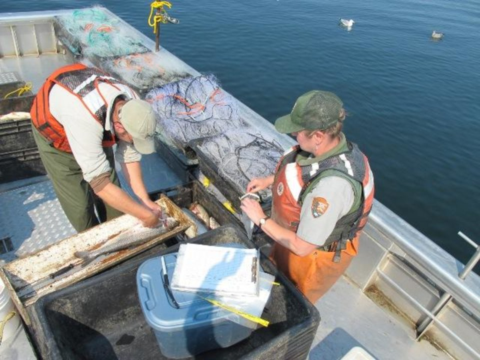 Photo - In this photo taken in August 2013, John Syslo, left, examines a netted lake trout on the deck of the fishing boat Northwester as Yellowstone fisheries biologist Pat Bigelow takes notes on Yellowstone Lake in Yellowstone National Park, Wyoming. Scientists say efforts to curb the population of the non-native fish appear to be working. (AP Photo/The Billings Gazette, Brett French)