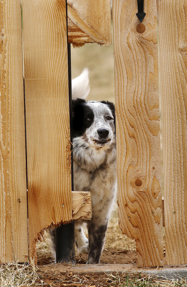 Photo - A dog peeks Tuesday through a hole in this fence in a Woodward neighborhood. A cold front dropped temperatures drastically in Woodward and other parts of the state.  Photo by Jim Beckel,  The Oklahoman