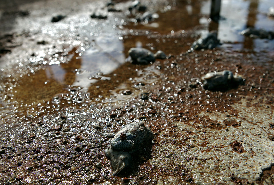Photo - Dead baby birds lie on the Lake Hefner wet stalls in Oklahoma City, on Monday, June 9, 2008. 186 birds were killed and one survived when a man knocked down their nests. By John Clanton, The Oklahoman