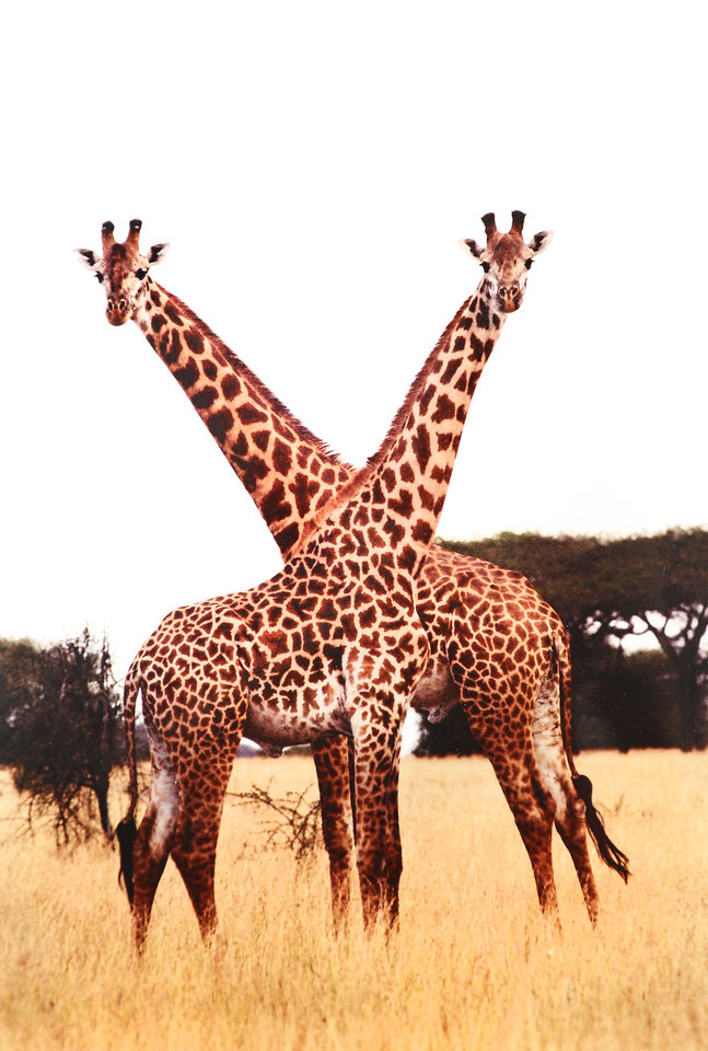 Photo -  Ralph Thompson's favorite wildlife photo of all that he has taken. This photo of giraffes was snapped in Kenya, East Africa in 1999.