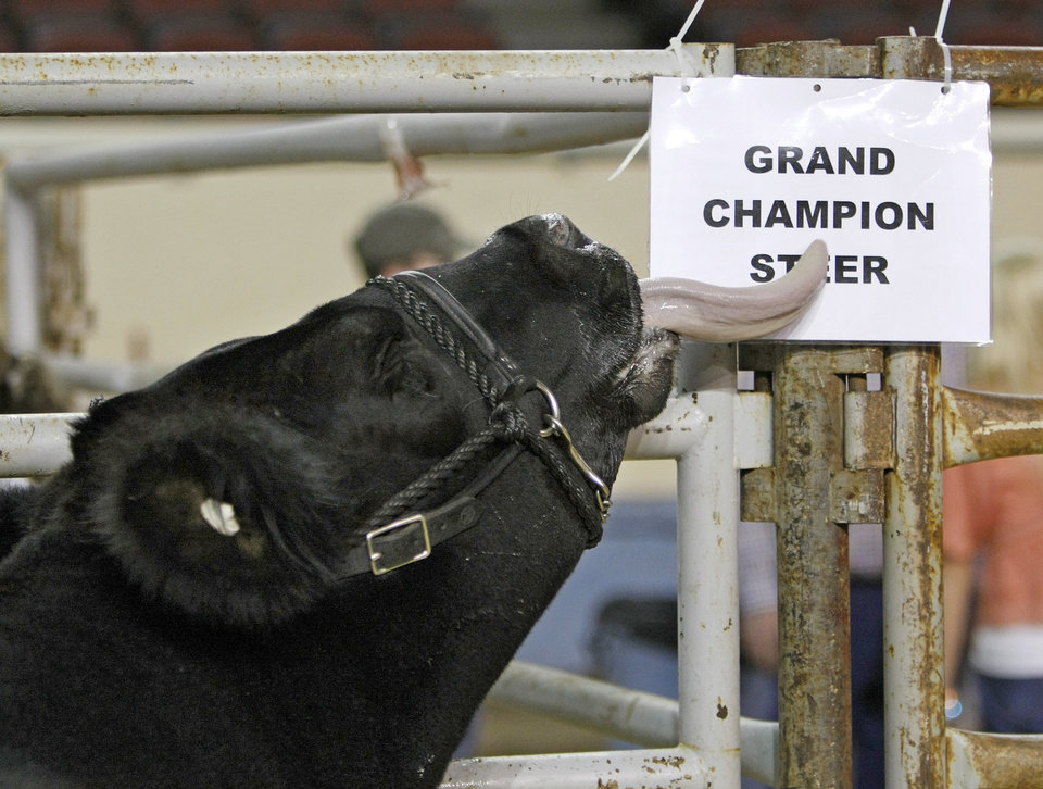 Grand champion steer LLer, exhibited by Ryan Stults of the Luther FFA, licks a sign before the Oklahoma Youth Expo\'s Sale of Champions at State Fair Arena in Oklahoma City, Monday, March 21, 2011. Photo by Nate Billings, The Oklahoman