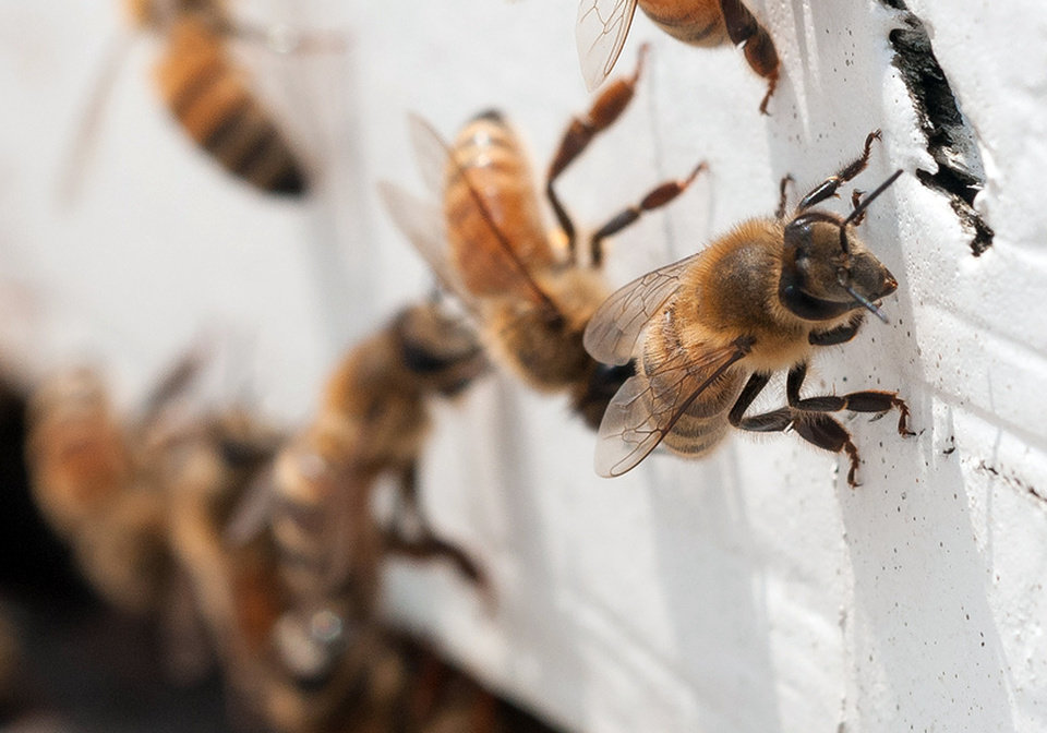 Photo - In this May 22, 2013 photo provided by the U.S. Department of Agriculture, honeybees with