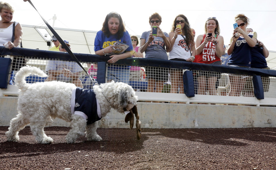"""Photo - Fans try to get the attention of he Milwaukee Brewers unofficial mascot Hank before an exhibition spring training baseball game against the Oakland Athletics, Wednesday, March 5, 2014, in Phoenix. The team has unofficially adopted the dog and assigned the name """"Hank"""" after baseball great Hank Aaron. (AP Photo/Morry Gash)"""