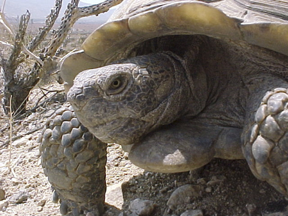 Photo - This undated image provided by the U.S. Geological Survey shows a male desert tortoise near Palm Springs, Calif. The U.S. Geological Survey released a report this week that takes a closer look at some of the effects climate change is likely to have on species such as the desert tortoise and the pinyon jay. (AP Photo/U.S. Geological Survey)