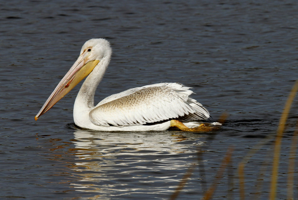 White Pelican makes a stop at the Oklahoma City Zoo lake during it\'s migration south in Oklahoma City, Thursday December, 8, 2011. Photo by Steve Gooch, The Oklahoman.