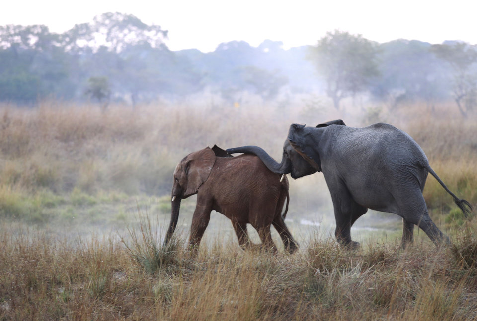 Photo - In this photo taken Tuesday June 10, 2014  and supplied by International Fund For Animal Welfare (IFAW), an orphaned elephant calf, left, one of two, is introduced to an adult at the Game Rangers International Release Facility at the Kafue National Park in Zambia.  The two calves, whose parents were killed by poachers when they were two, are to be integrated with the resident orphan herd and later released into the park. More than 20,000 elephants were poached last year in Africa where large seizures of smuggled ivory eclipsed those in Asia for the first time, international wildlife regulators said Friday June 13, 2014. (AP Photo/Jennifer Bruce - IFAW)