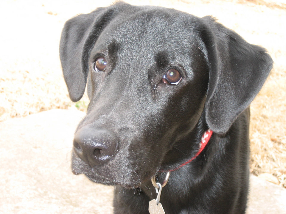 Black Lab, BOOMER<br/><b>Community Photo By:</b> Melissa Davis<br/><b>Submitted By:</b> Melissa, midwest city