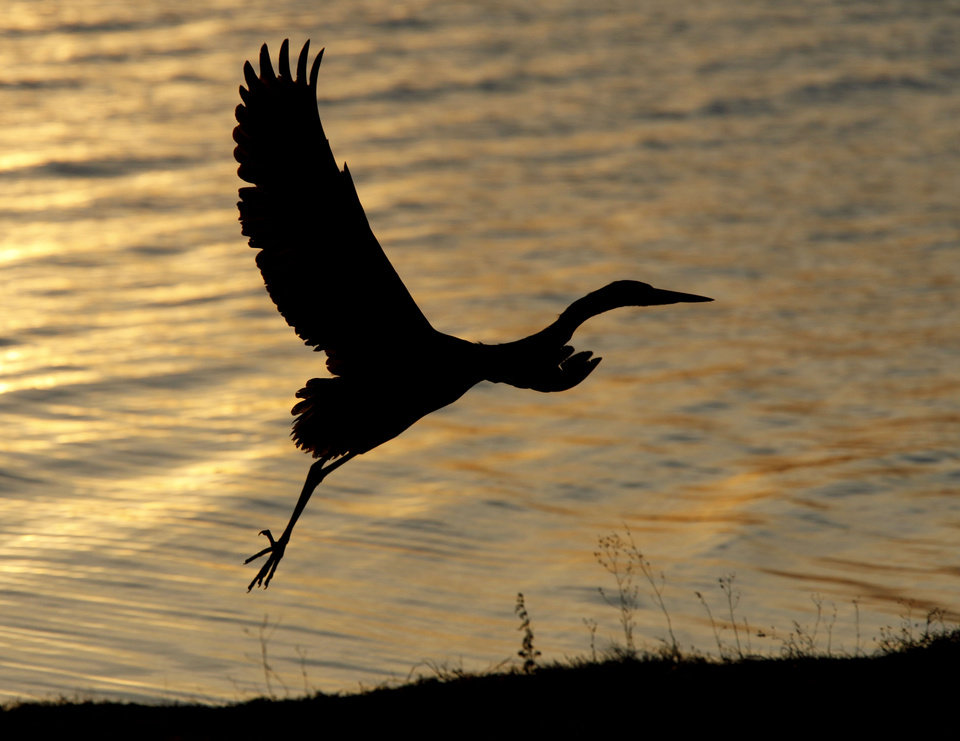 A Great Blue Heron takes flight during the annual Eagle Watch at Lake Arcadia in Edmond, OK, Friday, Jan. 7, 2011. By Paul Hellstern, The Oklahoman