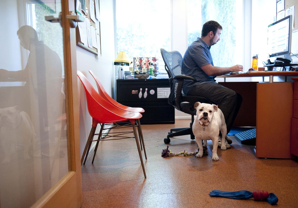 Photo -   Ginger, an English Bulldog, stands watch while at work with her owner Will Pisnieski, at Authentic Entertainment in Burbank, Calif., Monday, June 11, 2012. is one of millions of dogs that accompany their owners to dog-friendly businesses across the country every day. Even more will join her next Friday for Take Your Dog to Work Day. (AP Photo/Grant Hindsley)