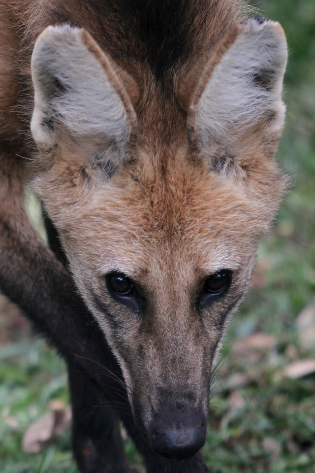 In this Nov. 13, 2012 photo, a lobo-guara, also known as a maned wolf, stands in the Jardim Zoo in Brasilia, Brazil. Brazilian researchers are turning to cloning to help fight the perilous decline of several animal species. The scientists at Brazil\'s Embrapa agriculture research agency said this week they have spent two years building a gene library with hundreds of samples from eight native species, including the collared anteater, the bush dog, the black lion tamarin, the coati, and deer and bison varieties, as well as the leopard and the maned wolf, according to team leader Carlos Frederico Martins. (AP Photo/Eraldo Peres)