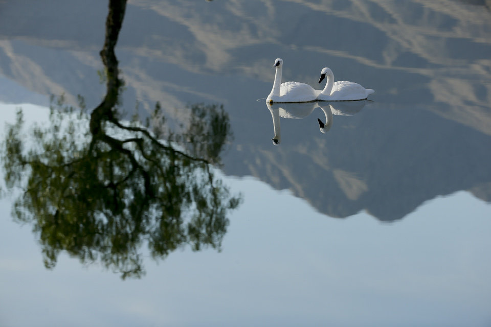 Photo - Faux swans are reflected in the pond between the first and 10th hole during the third round of the Humana Challenge golf tournament on the Palmer Private course at PGA West Saturday, Jan. 18, 2014, in La Quinta, Calif. The swans are used to scare away geese. (AP Photo/Chris Carlson)