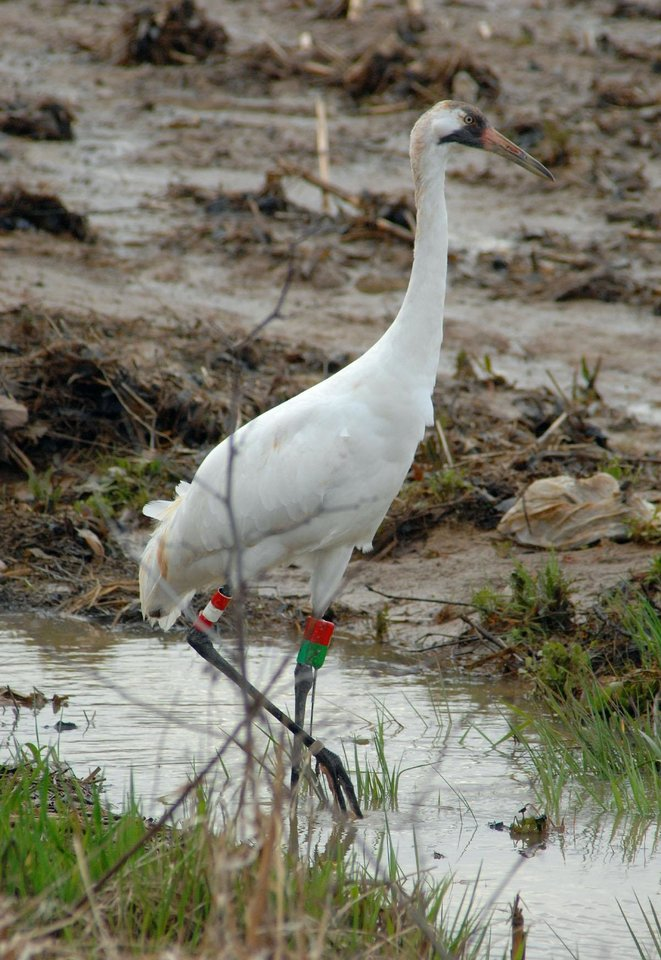 Photo -  One of  five whooping cranes that stopped in a field six miles south of Washington, Indiana on April 1, 2008, looks for food in a flooded field. According to naturalist Harold Allison, whooping cranes have endangered status and there are only about 145 birds in the lone self-sustaining population in North America. Allison said the birds are on their way to summer nesting grounds in Wisconsin and stopped to feed on plant and animal remains left by receding floodwaters. (AP Photo/ Washington Times Herald, Kelly Overton)  ORG XMIT: INWAS102