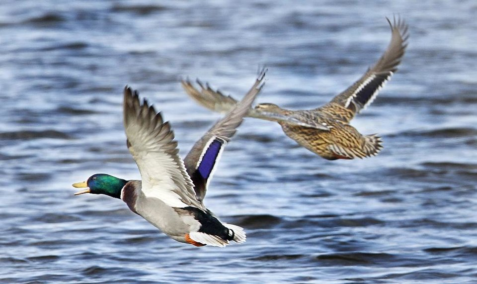 Photo -  A pair of mallard ducks take flight at Oklahoma City Zoo lake in Oklahoma City. Photo By Steve Gooch, The Oklahoman