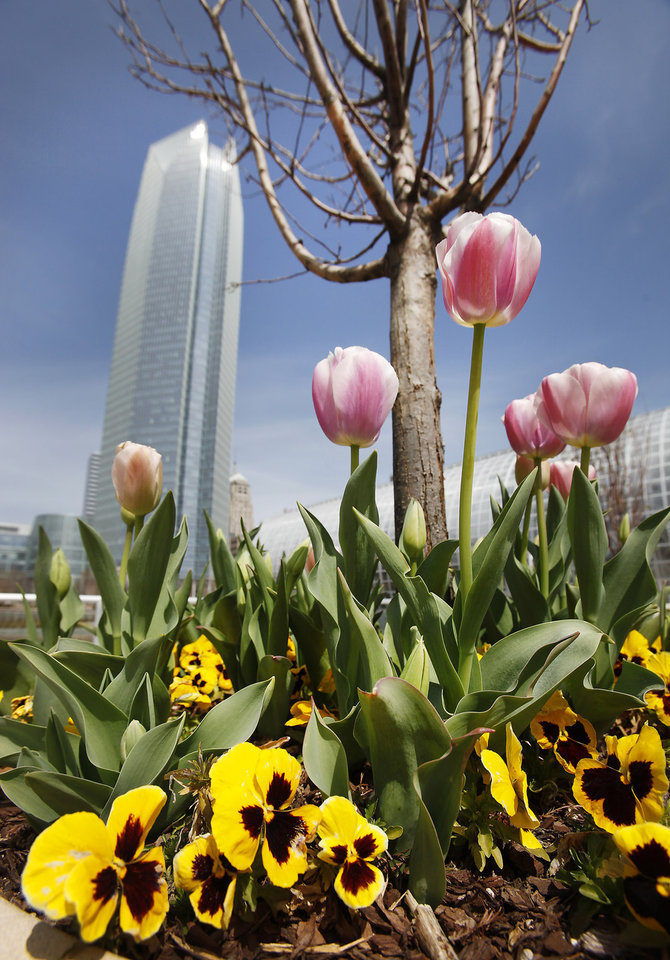 Wild Flowers in the Myriad Gardens, Thursday, March 28, 2013. Photo By David McDaniel/The Oklahoman
