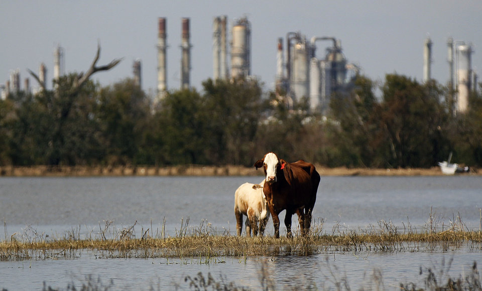 Photo -   In this Sunday, Sept. 2, 2012, photo, cattle are stranded on a slim piece of dry land as floodwaters from Hurricane Isaac recede in Plaquemines Parish, La. The nation's oil and gas hub is slowly coming back to life in the aftermath of Hurricane Isaac. The government said Monday that offshore oil and gas platforms are beginning to ramp up production as crews are returning. (AP Photo/Gerald Herbert)