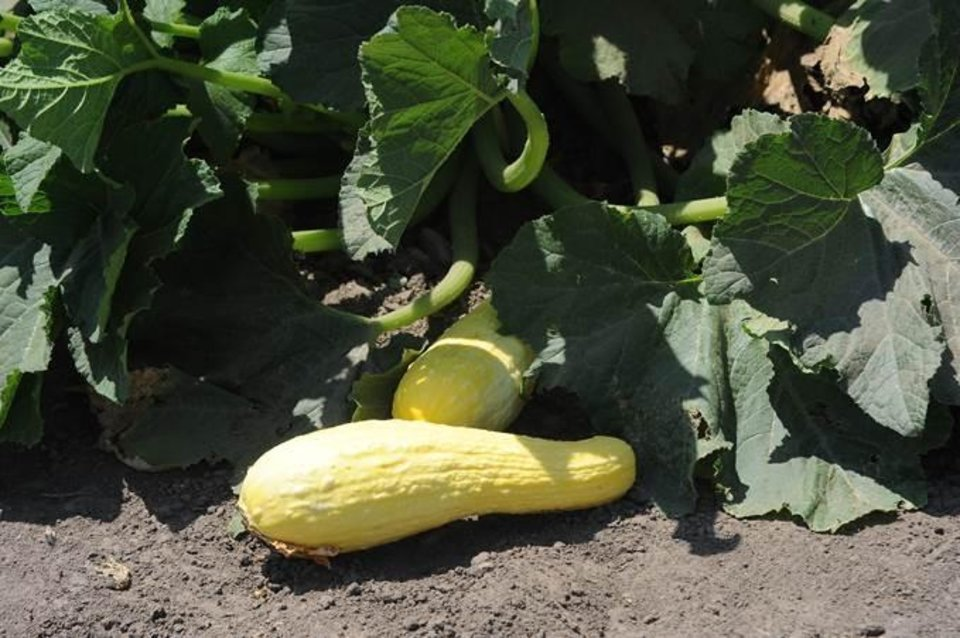 Photo -  Summer squash can be harvested when firm. [PHOTO PROVIDED BY OSU EXTENSION SERVICE]