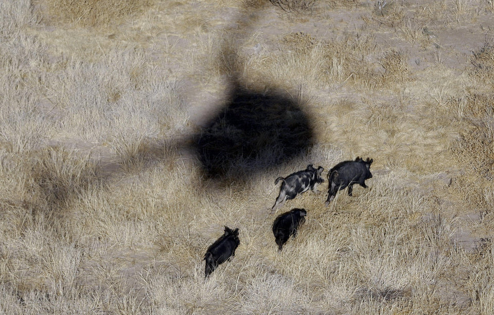 The shadow of Kyle Lange's helicopter hover over  feral pigs near Mertzon, Texas, Wednesday, Feb. 18, 2009. Under a legislation proposed  by a Fort Worth lawmaker, recreational sportsmen would be allowed to join professional hunters like Lange to aerial-hunt feral hogs to help thin out their relentlessly multiplying and destructive ranks from the perch of a helicopter. (AP Photo/Eric Gay) ORG XMIT: TXEG101