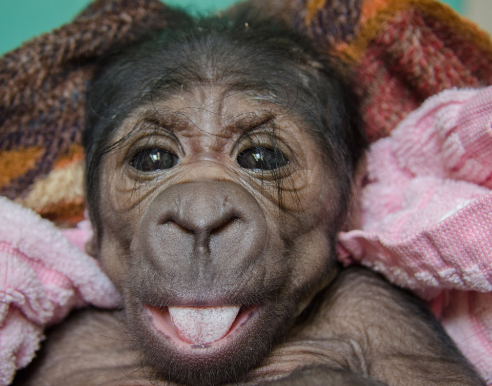 Photo -  The Oklahoma City Zoo has a new arrival – a female Western lowland gorilla. The baby gorilla was born in the early hours of Saturday inside a Great EscApe day room to mother Ndjole and father Togo.     PROVIDED