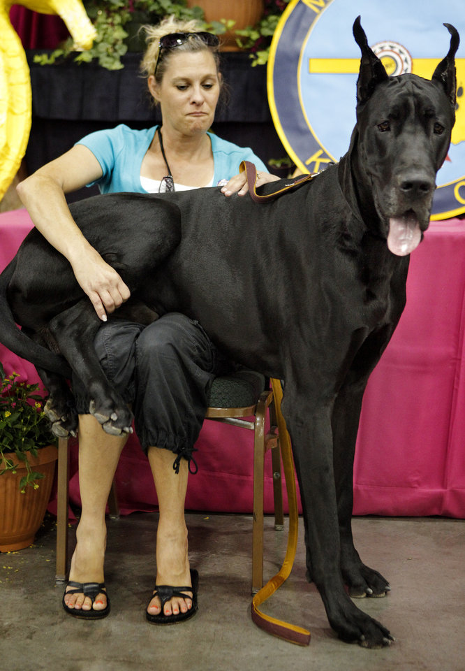 Atlas, a Great Dane, takes a seat on his owner, Donna January, during the OKC Summer Classic Dog Show at the Cox Convention Center in Oklahoma City,  Thursday, June 29, 2012. Photo by Bryan Terry, The Oklahoman