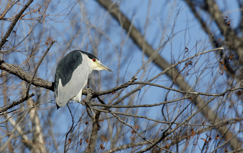 Photo - A black-crowned night heron is perched in a tree at the Oklahoma City Zoo, Monday January 6, 2014. Photo By Steve Gooch, The Oklahoman