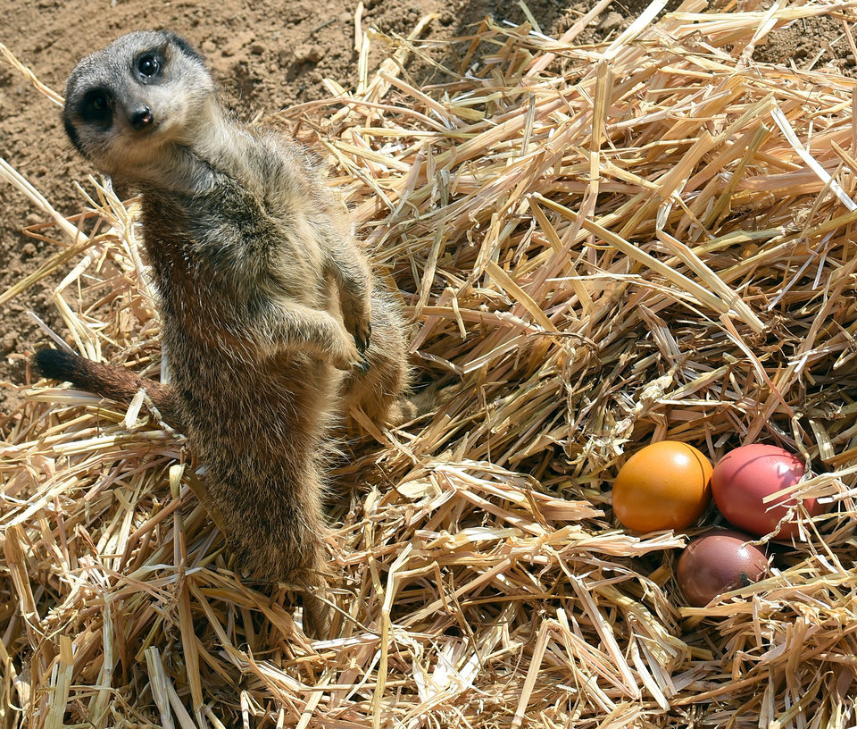 Photo - A meerkat guards colored Easter eggs at the zoo in Hannover, Germany, Thursday, April 3, 2014. The zoo keepers surprised the animals with an Easter egg hunt on the first day of the Lower-Saxon Easter school holidays. (AP Photo/dpa, Holger Hollemann)