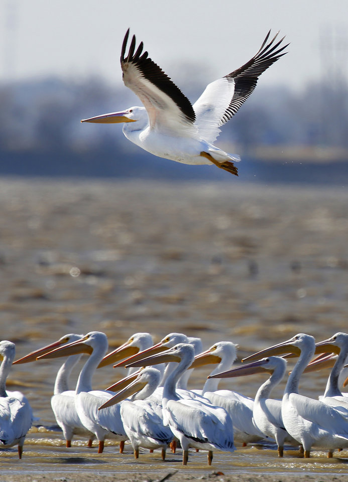 Photo - A white pelican takes flight at Lake Overholser in Oklahoma City. Pelicans are becoming an annual sighting on the Christmas Bird Count in Oklahoma City. Photo By Steve Gooch, The Oklahoman