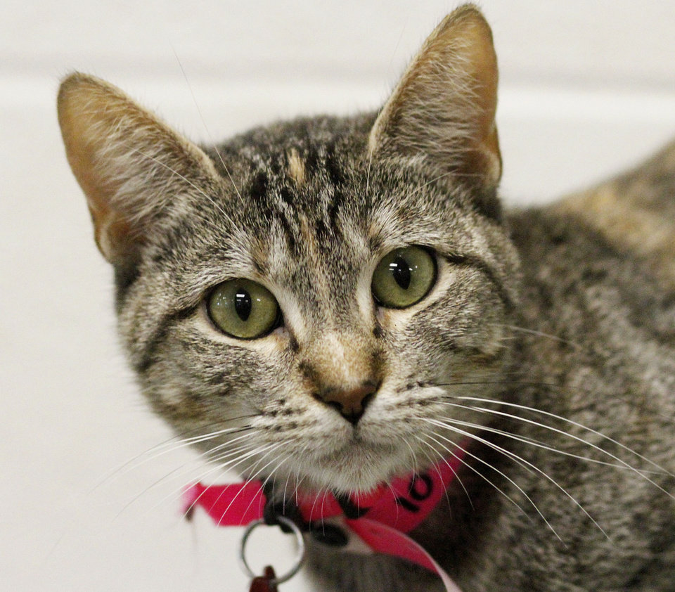 Photo - These cats at the Oklahoma City Animal Shelter are available for adoption. Photos by Jim Beckel, The Oklahoman