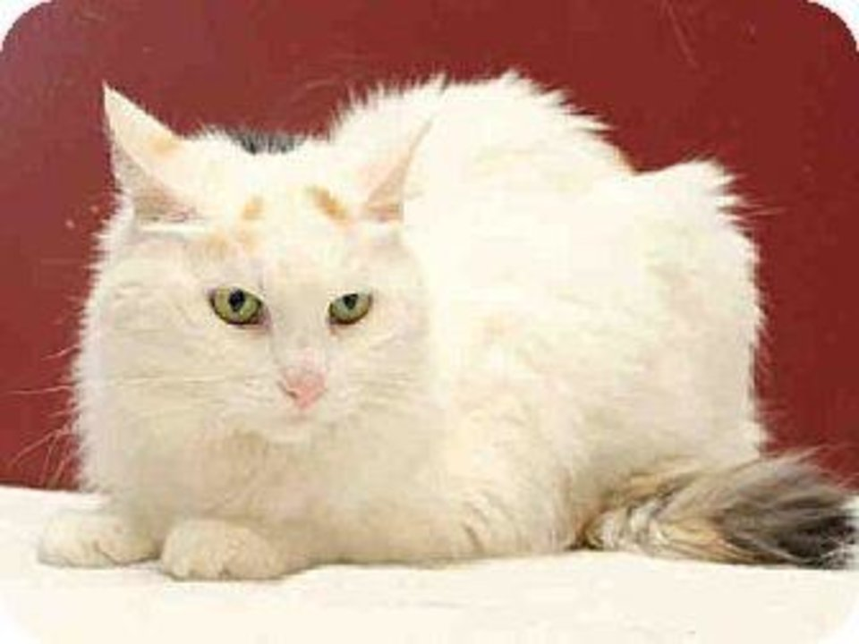 Photo - Snowball is a white domestic longhair who would enjoy a quiet home. Snowball is 12 years old and weighs about 8 pounds. She is at the Edmond Animal Welfare Shelter.  PHOTOS PROVIDED BY EDMOND  ANIMAL WELFARE SHELTER