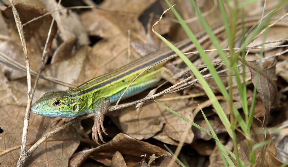 Photo - A Six-lined Racerunner at Camp Fire Camp DaKaNi in Oklahoma City, Monday July 1, 2014. Photo By Steve Gooch, The Oklahoman