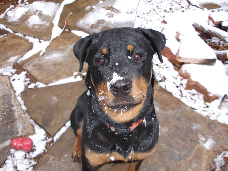 Titan playing in the snow<br/><b>Community Photo By:</b> Amanda Ivester<br/><b>Submitted By:</b> Amanda,