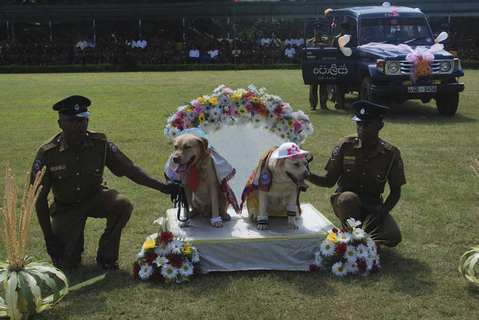 Photo - In this Monday, Aug.26, 2013 photograph, Sri Lankan policemen hold a pair of sniffer dogs as they hold a wedding ceremony of nine pairs of police dogs in Kandy, Sri Lanka. Sri Lanka police have apologized for holding a wedding ceremony for sniffer dogs after the country's culture minister condemned the event and demanded an investigation. The dogs dressed in shawls, hats and socks were placed on a decorated platform like those used in traditional weddings in the ceremony Monday, part of a breeding program. They were later driven away in a decorated police jeep for their