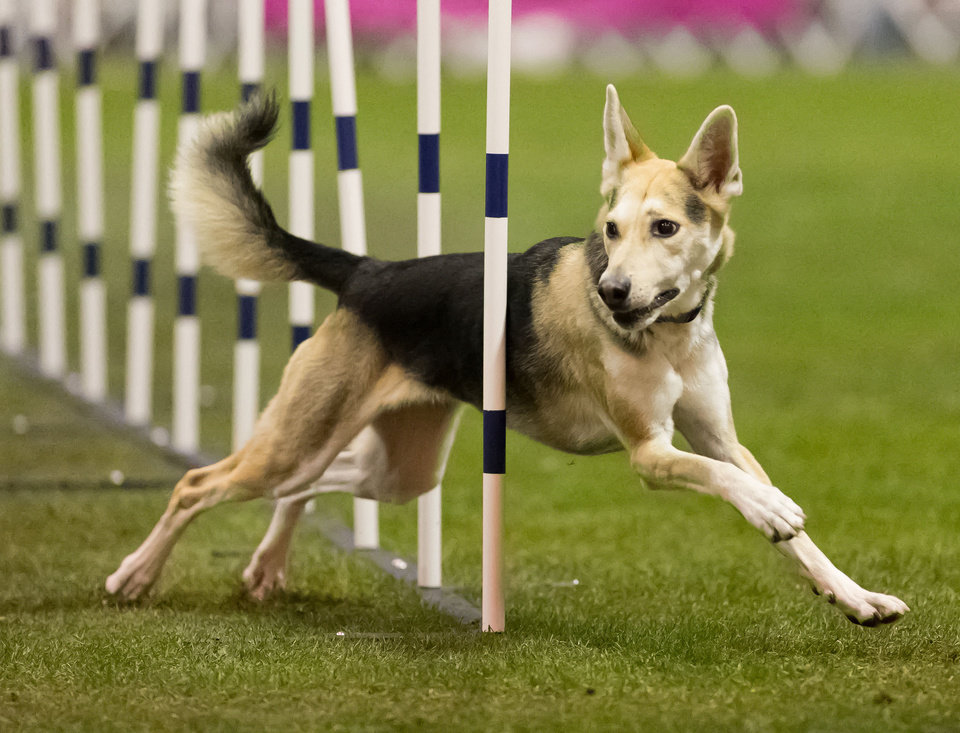 Photo - In this Dec. 16, 2012 photo provided by Great Dane Photos, Roo! weaves through obstacles during agility competition in Orlando, Fla. Roo!, a husky mix adopted from an animal shelter by dog trainer Stacey Campbell, will compete in the Westminster Kennel Club's new agility competition in February 2014. In a show dominated by purebreds, mixed-breed owners see the competition as a singular chance to showcase what everyday dogs can do. (AP Photo/Great Dane Photos, Amy Johnson) NO SALES