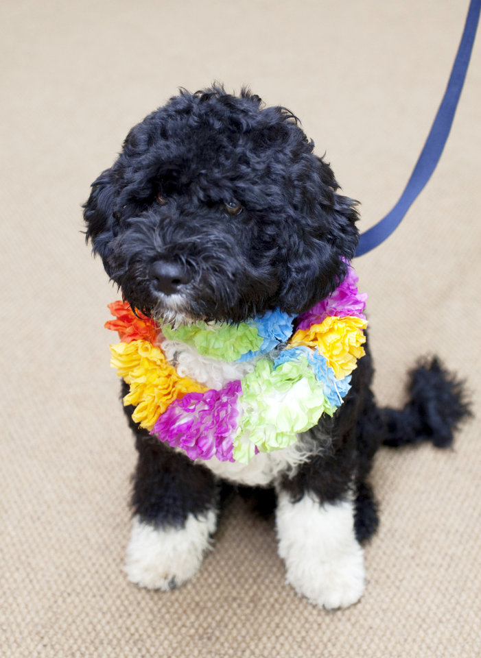 Bo The first family's new puppy, a 6-month-old Portuguese water dog.