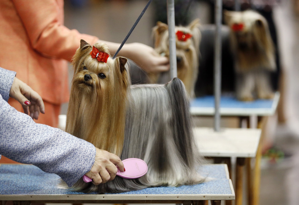 Photo -  K.J., a Yorkshire terrier, is brushed by breeder and handler Marie Bradley of Ft. Worth, Texas, on Wednesday during the OKC Summer Classic Dog Shows at the Cox Convention Center in downtown Oklahoma City. The dog shows continue through Sunday. Photo by Nate Billings, The Oklahoman   NATE BILLINGS -  NATE BILLINGS