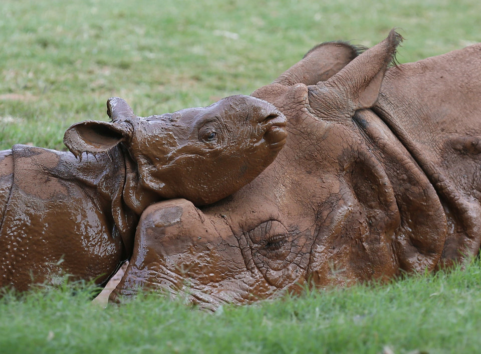 Photo -  A newborn Indian rhinoceros, left, rests his head on his mother in a mud wallow at the Oklahoma City Zoo. AP Photo   Sue Ogrocki -  AP