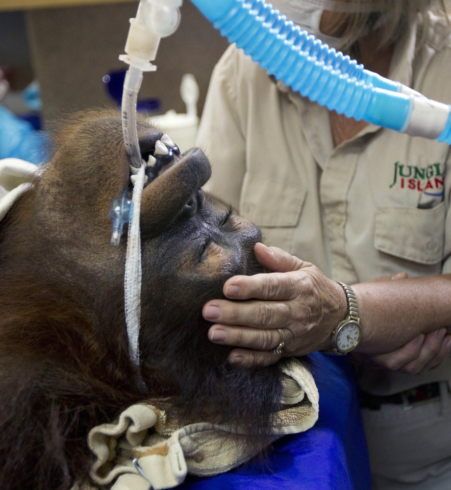 FILE-In this Sept. 5, 2012 file photo, Jungle Island volunteer Linda Jacobs comforts Peanut, one of the orangutans from the private zoo, as she is treated with R-CHOP therapy, a combination of drugs used in chemotherapy to treat her aggressive non-Hodgkin lymphoma in Miami. Her doctors said Tuesday, Nov. 13, 2012 that they decided to stop treatments after three courses of combination chemo-immunotherapy. The team says since the disease was caught early on, they are confident Peanut received �an adequate course of therapy.� (AP Photo/J Pat Carter, File)