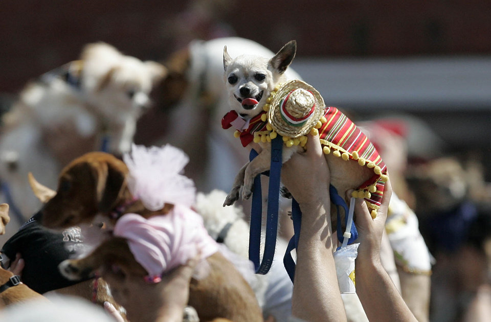 Photo -   People raise their costumed Chihuahuas during the inaugural Cinco de Mayo Chihuahua parade, Saturday, May 5, 2012 in Kansas City, Mo. Hundreds of tiny dogs dressed up like tacos, ballerinas and a variety of other things fell short of setting a world record, but organizers say they're encouraged by the turnout for the inaugural Cinco de Mayo Chihuahua parade. (AP Photo/The Kansas City Star, Jim Barcus)