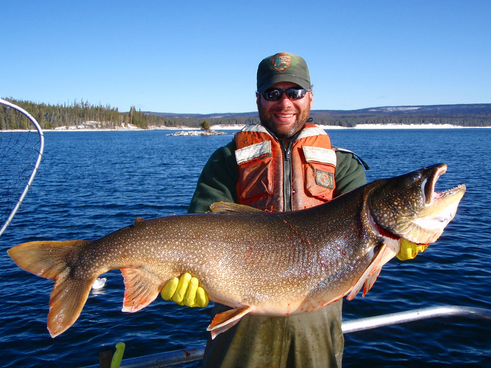 Photo - CORRECTS YEAR IMAGE WAS TAKEN TO 2013, NOT 2003 - In this photo taken in 2013 and released by the National Park Service. Brian Ertel, a fisheries biologist at Yellowstone National Park, holds a netted lake trout caught from Yellowstone Lake in Wyoming.  Scientists say they voracious species of trout that entered Yellowstone Lake and decimated its native trout population appears to be in decline following efforts to kill off the invading fish. (AP Photo/National Park Service)
