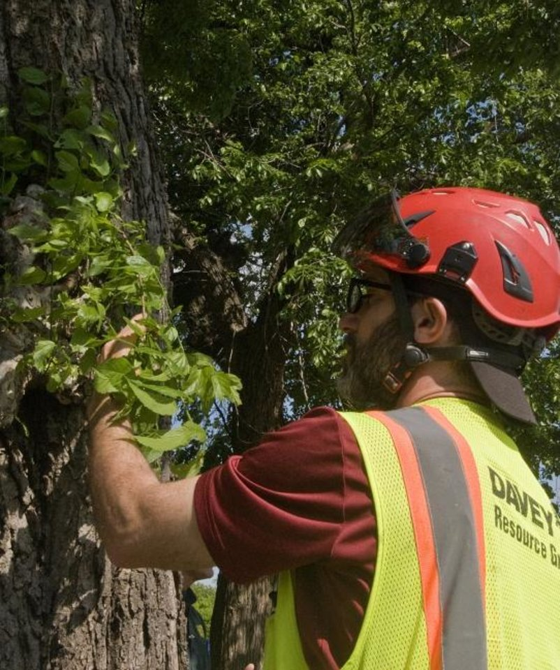 Photo -  Beals examines growth on a tree that was recently evaluated as part of a survey the company is helping to assemble. The survey should be complete by July, officials say.