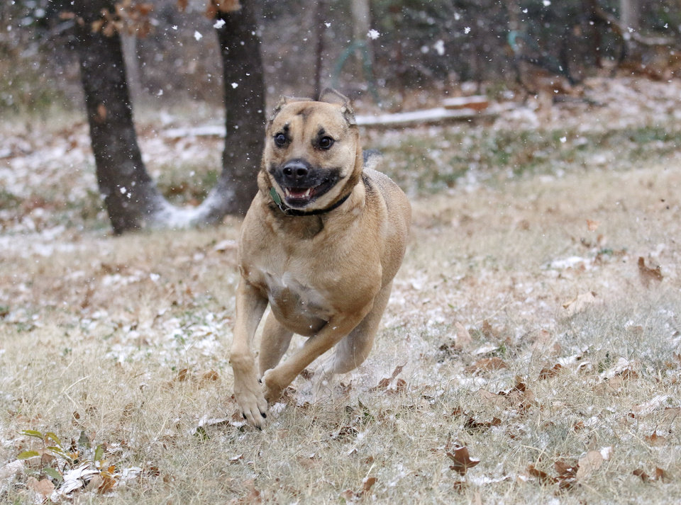 Photo - Photographer Doug Hoke's family dog Dino plays in the snow in the backyard in Edmond Sunday, November 24, 2013. Photo by Doug Hoke, The Oklahoman