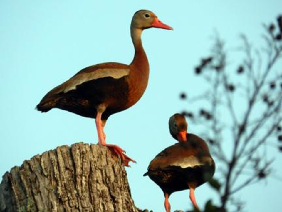 Photo -  This photo of black bellied whistling ducks was taken recently near McAlester