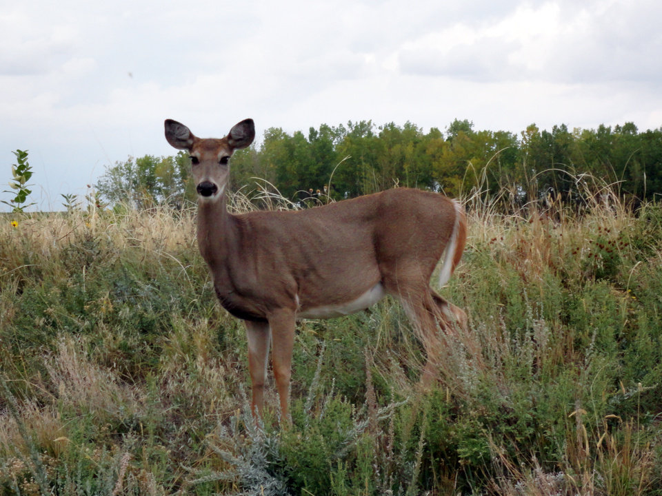 This Sept. 26, 2012 image shows a white-tailed deer doe at the Rocky Mountain Arsenal National Wildlife Refuge in Commerce City, Colo. A nine-mile do-it-yourself Wildlife Drive opens Oct. 13 at the refuge, which was built on a former Superfund site near Denver. (AP Photo/Donna Bryson)