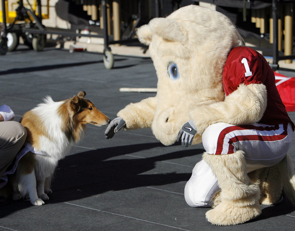 Photo - Texas A&M mascost Reveille VIII sniffs the hand of OU mascot Boomer during the college football game between the University of Oklahoma (OU) and Texas A&M University (TAMU) at Kyle Field in College Station, Texas, Saturday, Nov. 8, 2008. BY NATE BILLINGS, THE OKLAHOMAN