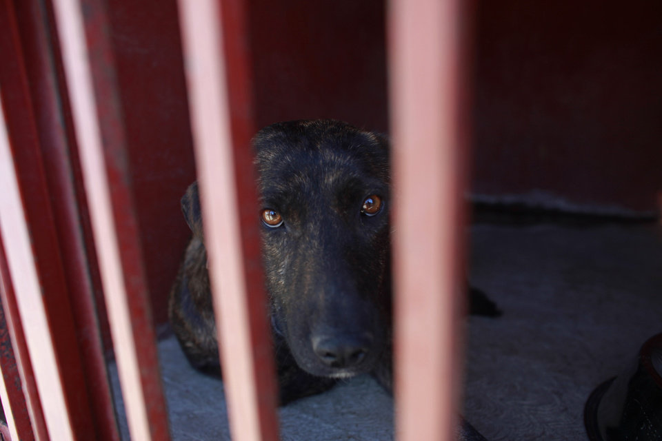 Photo - One of the dogs that was caught near the site of four fatal maulings sits inside a cage at a city dog pound in Mexico City,Wednesday, Jan. 9, 2013. Authorities have captured dozens of dogs near the scene of the attacks in the capital's poor Iztapalapa district, but rather than calm residents, photos of the forlorn dogs brought a wave of sympathy for the animals, doubts about their involvement in the killings and debate about government handling of the stray dog problem. (AP Photo/Dario Lopez-Mills)