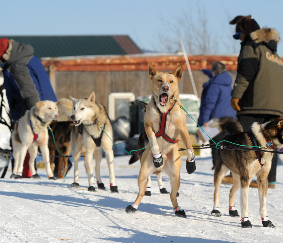 Photo - One of Hans Gatt's dogs is ready to go as Gatt made a brief stop at the Yukon River village of Kaltag during the 2014 Iditarod Trail Sled Dog Race on Saturday, March 8, 2014.  (AP Photo/The Anchorage Daily News, Bob Hallinen)