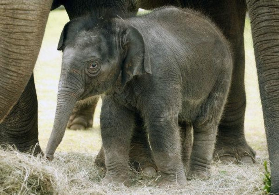 The elephant calf at the Oklahoma City Zoo explores her outdoor habitat with her mother Asha and aunt Chandra on Tuesday morning. The calf's name will be revealed Wednesday. <strong>PAUL HELLSTERN - THE OKLAHOMAN</strong>
