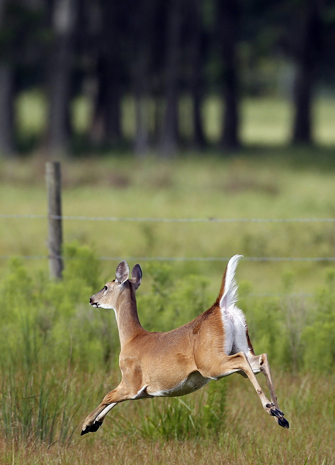Photo -  A young deer sprints across a field early Saturday, July 17, 2010 in Trinity, Fla. (AP Photo/Chris O'Meara) ORG XMIT: FLCO103