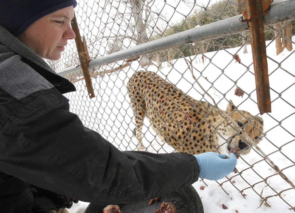 Photo - Giraffe Supervisor Jaimee Flinchbaugh feeds the Cheetahs at the Oklahoma City Zoo in Oklahoma City, OK, Thursday, Feb. 3, 2011. By Paul Hellstern, The Oklahoman