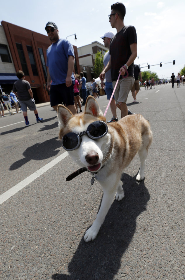 "Photo - Zach Kampf's husky Athena is ""cool"" wearing shades as they walk down main street during the Norman Music Festival on Saturday, April 26, 2014 in Norman, Okla.  Photo by Steve Sisney, The Oklahoman"