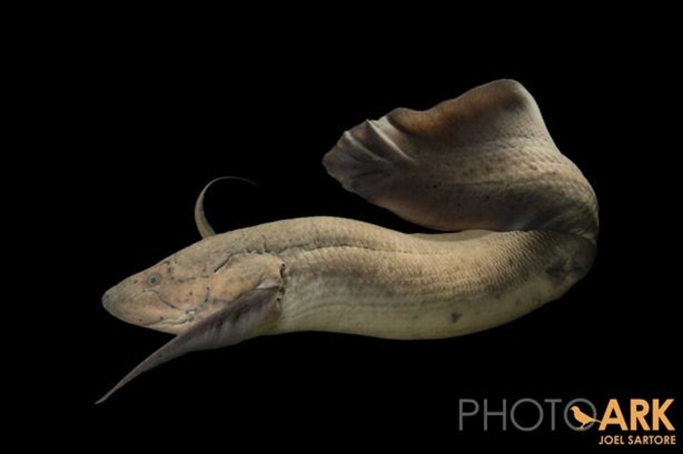 Photo -  West African lungfish (Protopterus annectens) at the Oklahoma City Zoo.